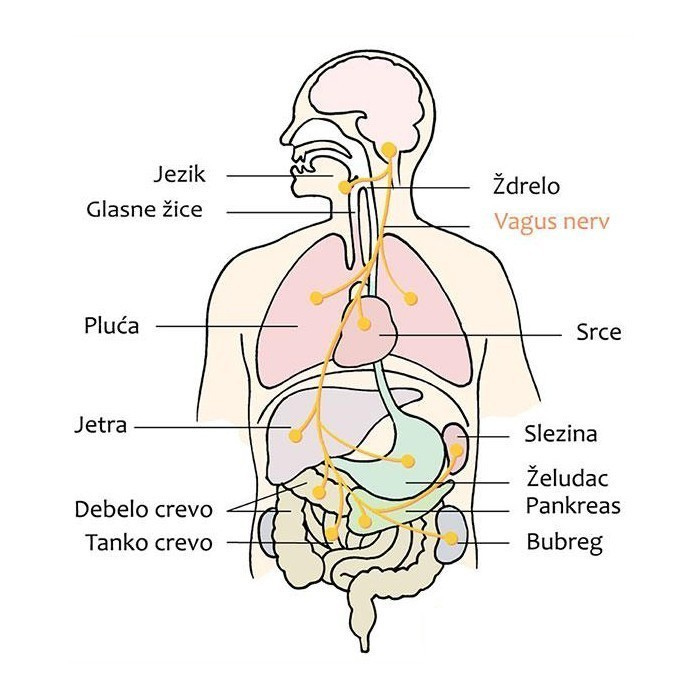 vagus nerv prikaz